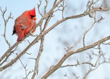 Male Cardinal Perched Royalty Free Stock Photos