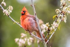 Red Male Cardinal perched in a tree. Male Cardinal Perched on a tree that is just blooming in late spring on the pinelands of New Jersey stock image