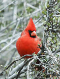 A Male Cardinal Perched in a Tree. A Male Cardinal Perched in a Shrub Stock Photo