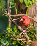 Male Cardinal. Perched on vine Stock Photos