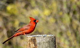 Male Cardinal with raised crest Stock Images