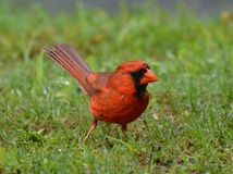 Male cardinal Stock Photo