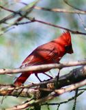 Male Cardinal in red royalty free stock images
