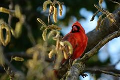 A Male Cardinal red perches on a tree branch. royalty free stock image
