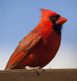 Male cardinal resting on wood Stock Photos