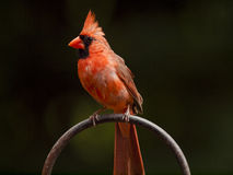 Male Cardinal on a Ring Perch. Brightly lit male cardinal bird in a semi-profile pose standing on a metal ring perch. Left side is visible.nBackground is deep royalty free stock photography