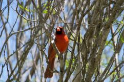 Male cardinal at San Antonio Botanical Garden. Cardinal genus Cardinalis at the San Antonio Botanical Garden, among the new leaves of springtime royalty free stock photography