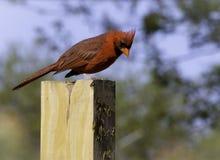 Male cardinal septentrional (cardinalis de los cardinalis) Foto de archivo libre de regalías