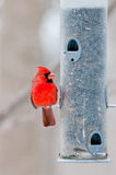 Male cardinal sits on bird feeder. Male cardinal (Cardinalis cardinalis) sits on sunflower filled bird feeder Stock Photography