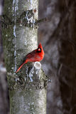 Male cardinal. Sitting on a cold branch with snow in winter time on a tree Royalty Free Stock Photo
