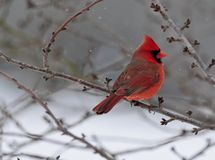 Male Cardinal snow falling stock images