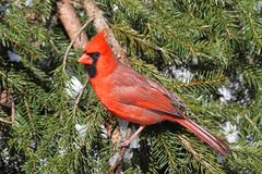 Male Cardinal In Snow Royalty Free Stock Photo