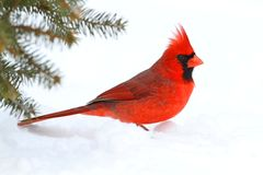 Male Cardinal In Snow Stock Photography