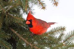 Male Cardinal In Snow. Male Northern Cardinal (cardinalis cardinalis) on a Spruce branch covered with snow Stock Images