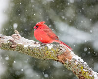 Male Cardinal In The Snow Royalty Free Stock Photos