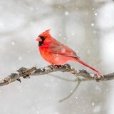 Male Cardinal In The Snow Stock Photo