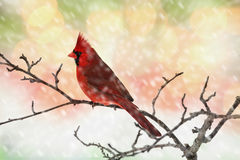 Male Cardinal in Snow. Male Cardinal perching on a branch during a snow storm royalty free stock image