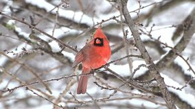 Male Cardinal in snow storm stock video footage
