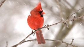 Male Cardinal in snow storm. In Pennsylvania stock footage