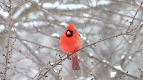 Male Cardinal in snow storm stock footage