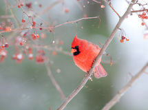 Male cardinal in snowstorm Royalty Free Stock Images