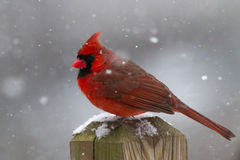 Male Cardinal In a Snowstorm. Male Cardinal perched on a fencepost In a Snowstorm Stock Images