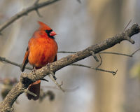 Male cardinal songbird Royalty Free Stock Photography