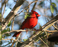 Male cardinal in southern Texas shrubland Royalty Free Stock Image