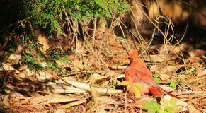 Male Cardinal Sunbather 1 Royalty Free Stock Photo