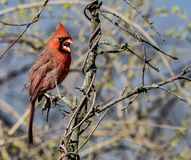 Cardinalis cardinal yelling from the trees. A male cardinal telling that photos are not allowed in this area stock photography