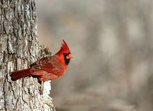 Male Cardinal on Tree Background. Close-up of a beautiful bright red male cardinal bird perched on the side of a gray oak tree, looking towards the camera, on a royalty free stock photo
