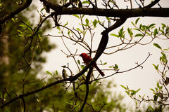 Male Cardinal in a Tree. On the banks of the lake at Swan Lake and Iris Gardens in Sumter, SC in Spring Stock Photos