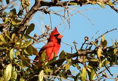 Male Cardinal in Tree with Blue Sky. A beautiful red male cardinal bird, with crest erect, sitting in a tree top, among green leaves, on a blue sky background stock photos