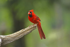 Male Cardinal. Uncropped portrait photo of male Northern Cardinal with green background royalty free stock images