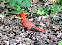 Male cardinal. Wild cardinal in New York Royalty Free Stock Images