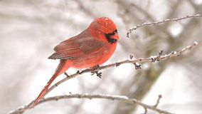 Male Cardinal in a windy snow storm stock video