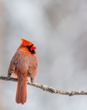 Male Cardinal with Wings Fluffed. Cardinal Cardinalis cardinalis perched on a branch with his wings fluffed out Royalty Free Stock Images