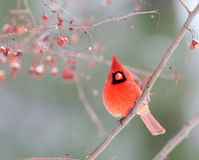Male cardinal in winter. Male northern cardinal perched on a branch in winter Stock Image