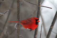 A Male Cardinal in Winter Royalty Free Stock Photos