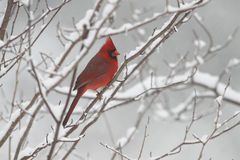 Male Cardinal in Winter. Male Northern Cardinal (Cardinalis cardinalis) in Winter - Ontario, Canada Stock Photos