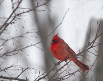 Male Cardinal in Winter Stock Photography