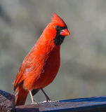 Male cardinal in winter Royalty Free Stock Photography