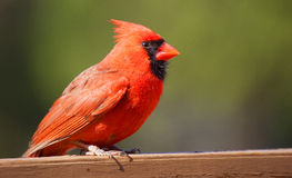 Male cardinal on a wood board Stock Photo