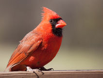 Male cardinal on a wood rail Royalty Free Stock Images
