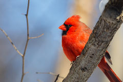 Male Cardinal in the Woods Royalty Free Stock Image