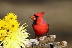 Male Cardinal and Yellow Flowers. Close-up of a beautiful bright red male cardinal bird, with a sunflower seed in his beak, perched on a moss covered tree branch stock photography