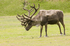 Male Caribou. An older male caribou in velvet, shedding his winter coat standing in a a meadow stock photo