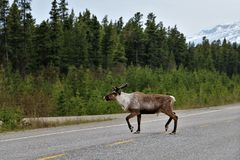 Caribou crossing the road in Canada. Male Caribou with antlers crossing the road in British Columbia, Canada. Forest and snow capped mountains in background royalty free stock photo
