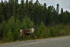 Male caribou crossing the road in Canada. Male caribou on side of the road in British Columbia, Canada. Male with antlers royalty free stock photo