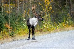 MALE CARIBOU REINDEER WITH ANTLERS ON SIDE OF ROAD IN FALL. Male caribou or Reindeer with Antlers on the side of the road in the fall Stock Photo